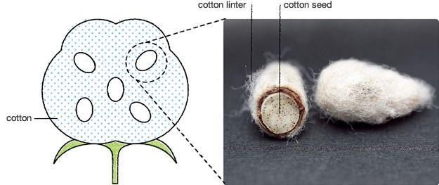 linter de coton