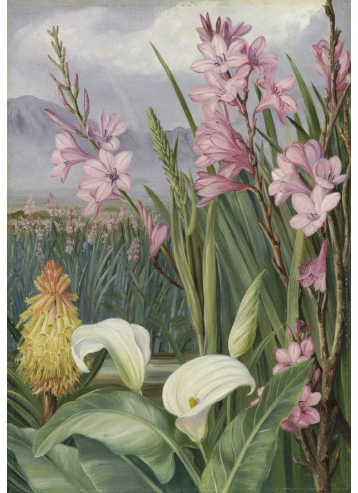 Beauties of the Swamps at Tulbagh, South Africa - Marianne North